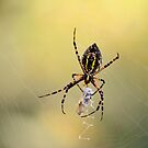 Spider with spider about to emerge from cocoon by Laurie Minor