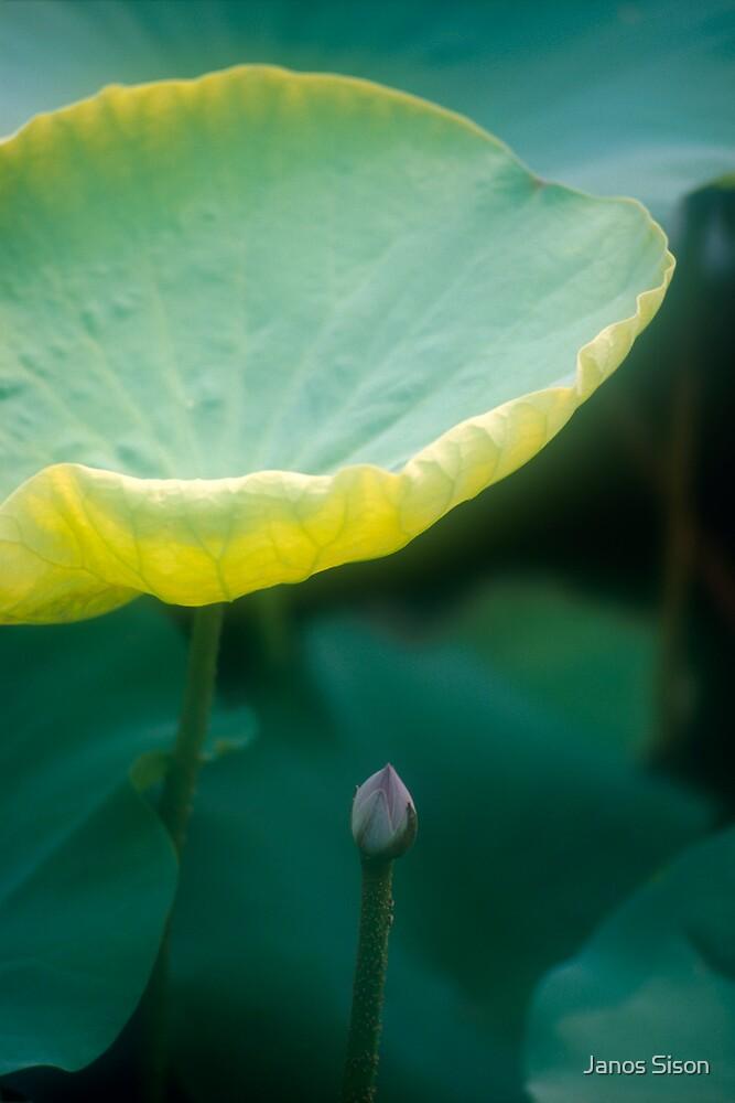 Lotus #27 by Janos Sison