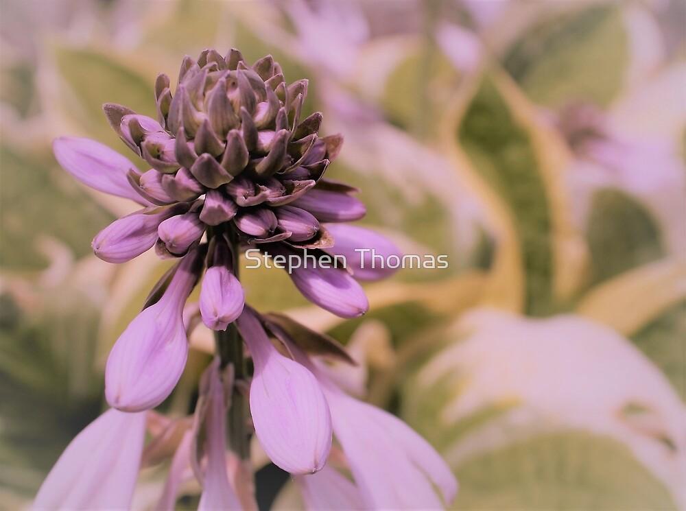 Hosta Bloom by Stephen Thomas