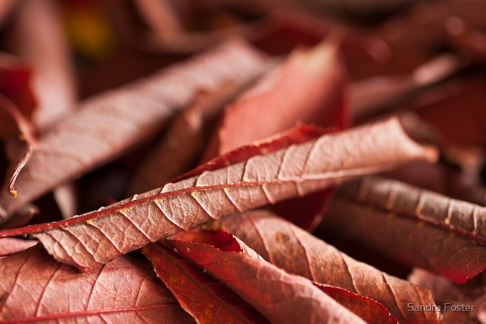 Dried Rolled Plum Leaves - Macro by Sandra Foster