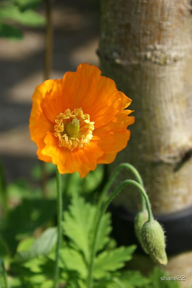 Orange Poppy I by shane22