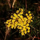 Golden Wattle by Evita