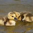 Goslings by Jerry  Mumma