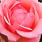 A Rose is a Rose, at least a MONOCHROME one color Rose is