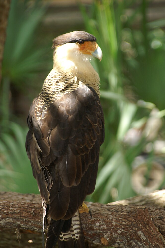Crested Caracara by kld73