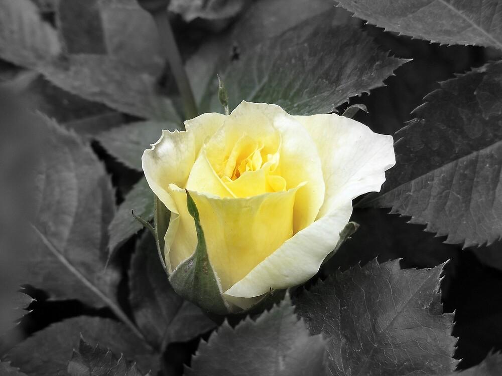Rose of Friendship by AlwaysJer