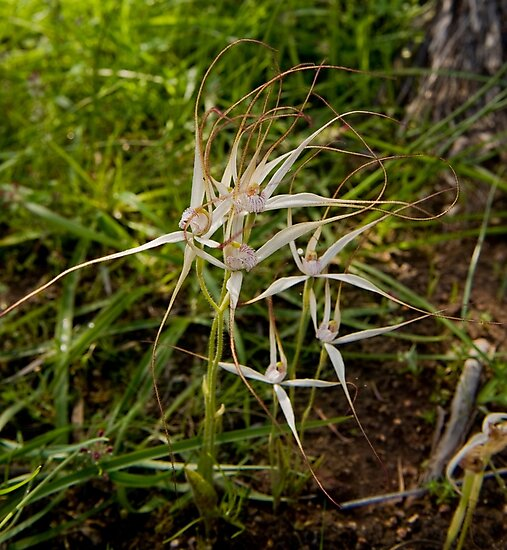 Spider Orchids Ninghan Station by warriorprincess