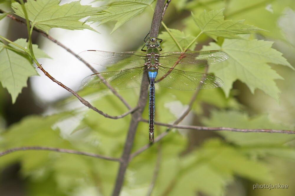 Dragonfly by photojunkee