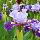 Iris  by Jennifer Vickers