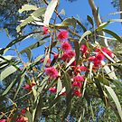 The Red Flowering Gums looking lovely against a Blue Winter Sky. by Rita Blom