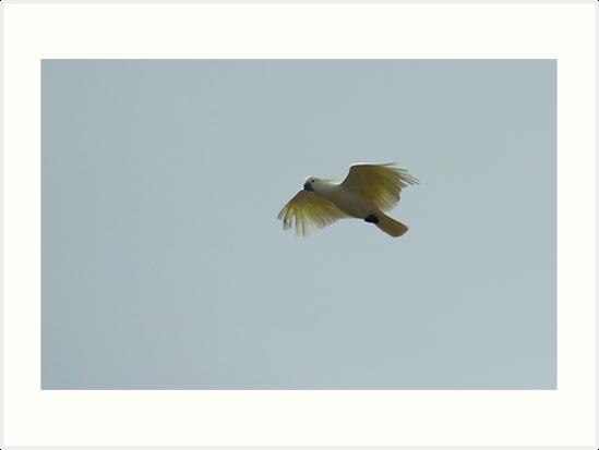 Sulphur Crested Cockatoo by Biggzie