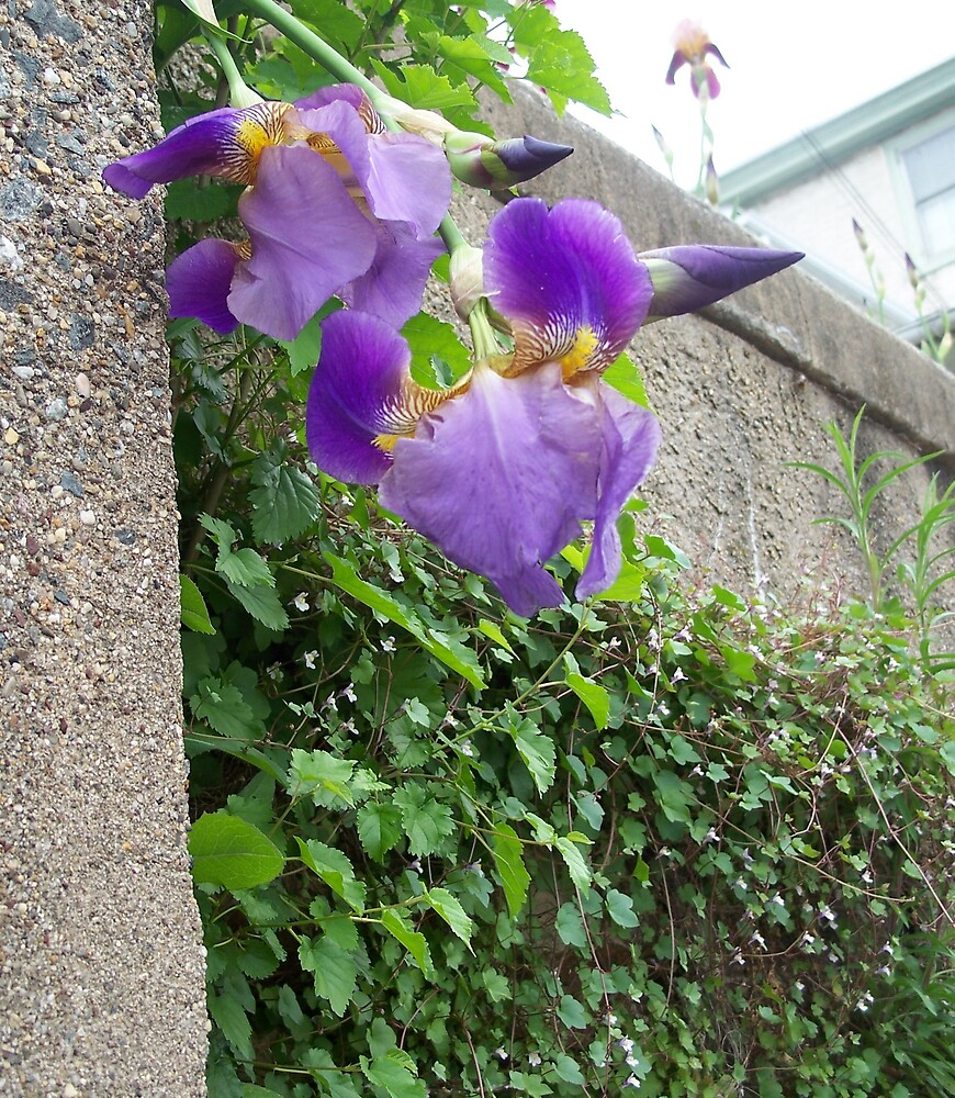 Iris growing on the side of a wall by Judi Taylor