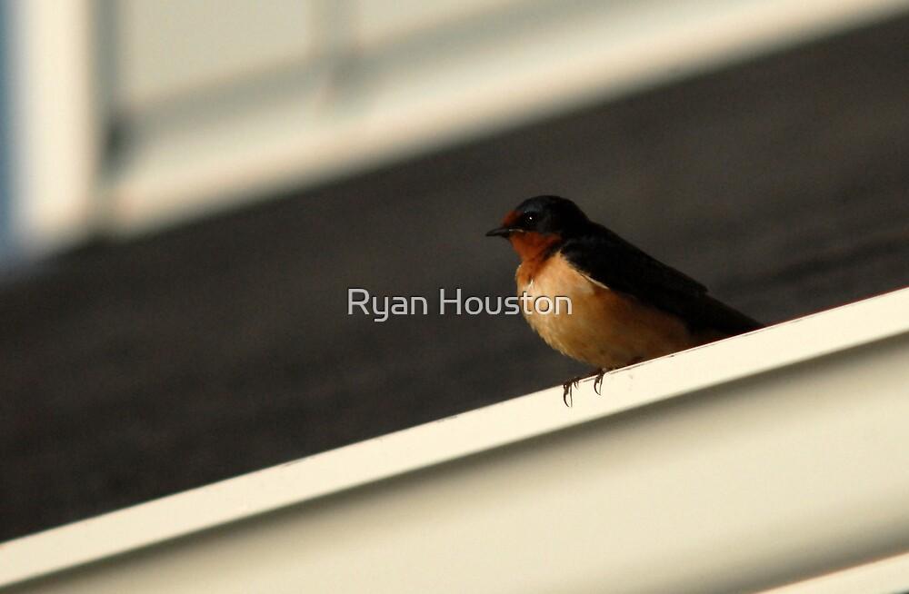Barn Swallow - Triangles by Ryan Houston