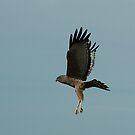 Spotted Harrier by Biggzie