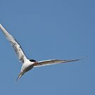 Tern and tern again by Tom Black