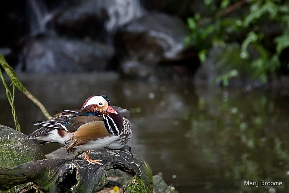 Mandarin Duck by Mary Broome