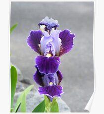 Concrete Iris Poster