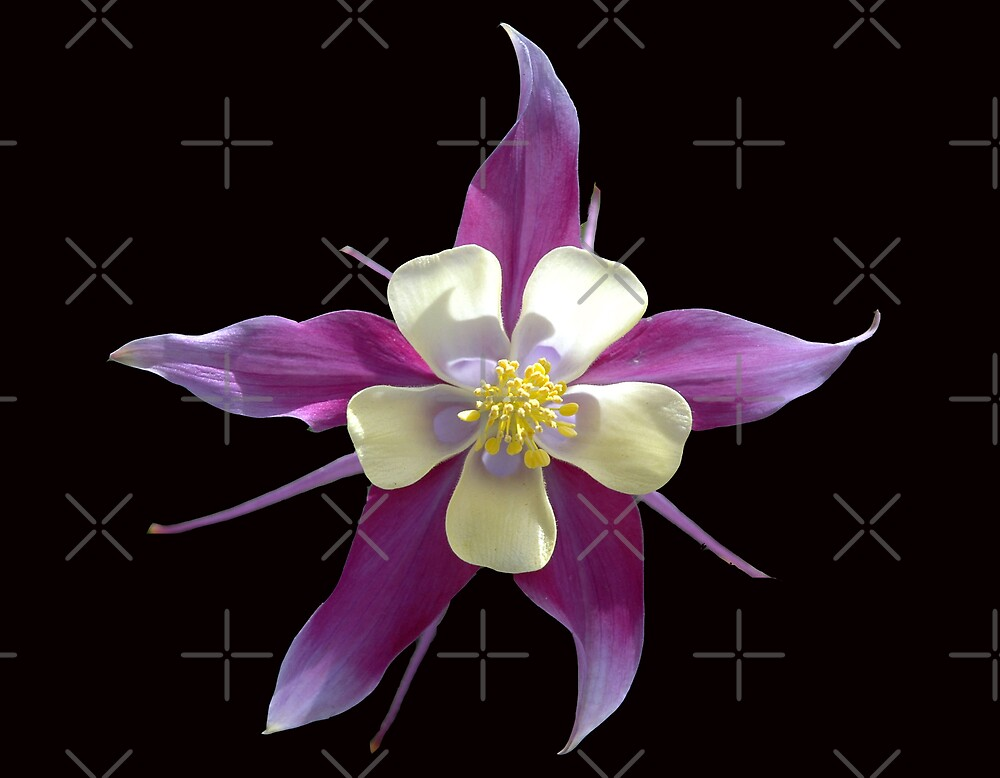 Single Columbine by Holly Werner