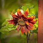 red and yellow Sunflower framed by planks by LeifS1