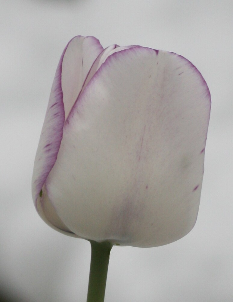 tulip close up by Robert Deaton