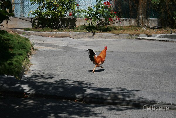 Rooster by Celticeye
