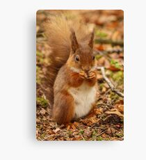 Little Tame Red Squirrel Canvas Print