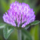 Clever Clover by scenicvibephoto