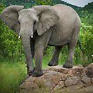 Posing I am (Elephant - loxodonta africana) by Deborah V Townsend
