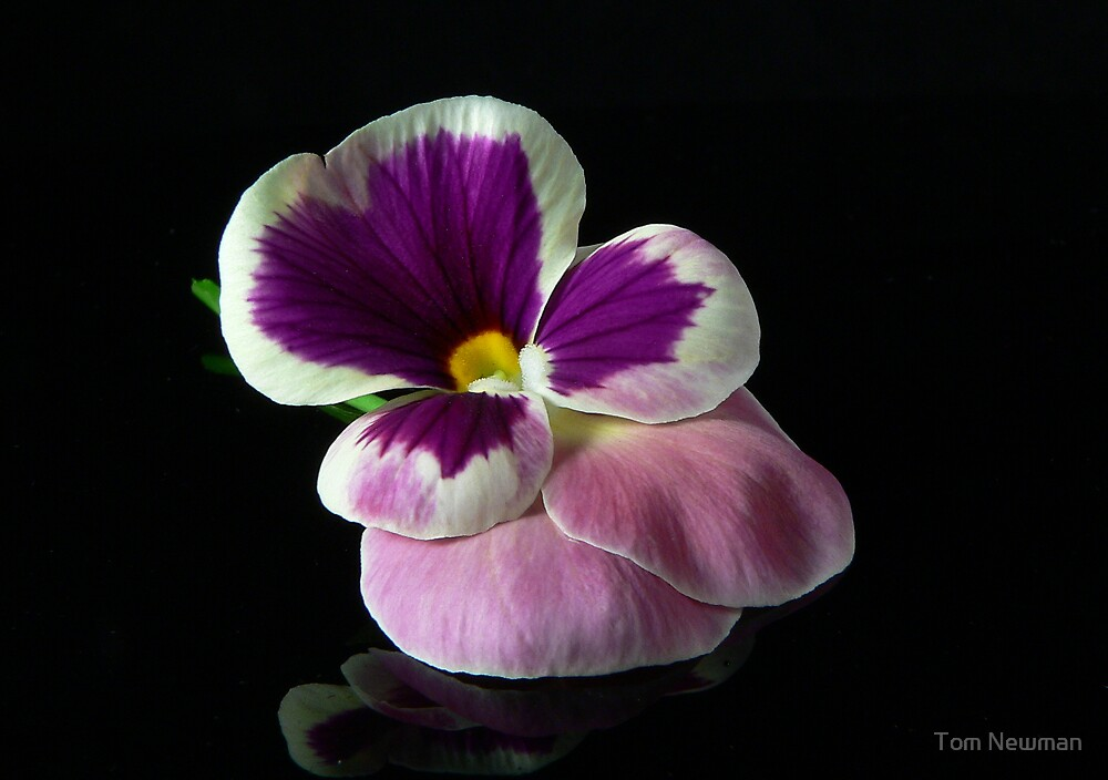 Lone Pansy by Tom Newman