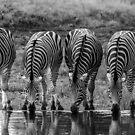 Drinking Zebra (Equus quagga) by Deborah V Townsend