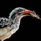 Red-Billed Hornbill (Tockus erythrorhynchus) by Deborah V Townsend