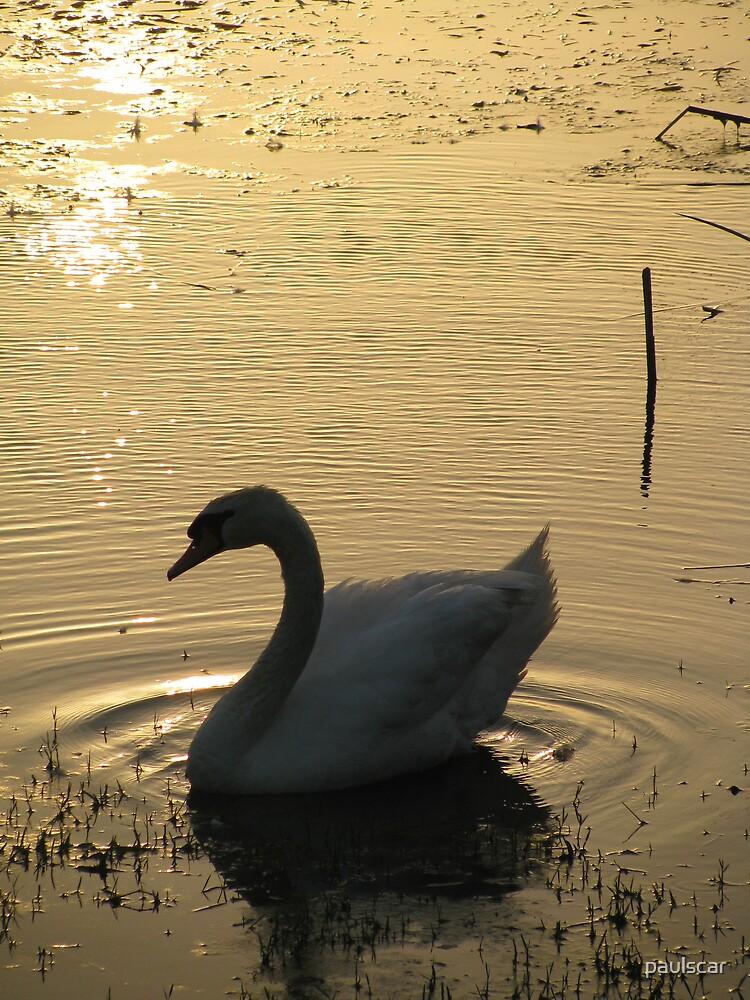 sunrise swan by paulscar