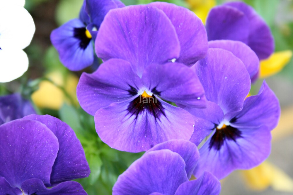 A group of pansies by Iani