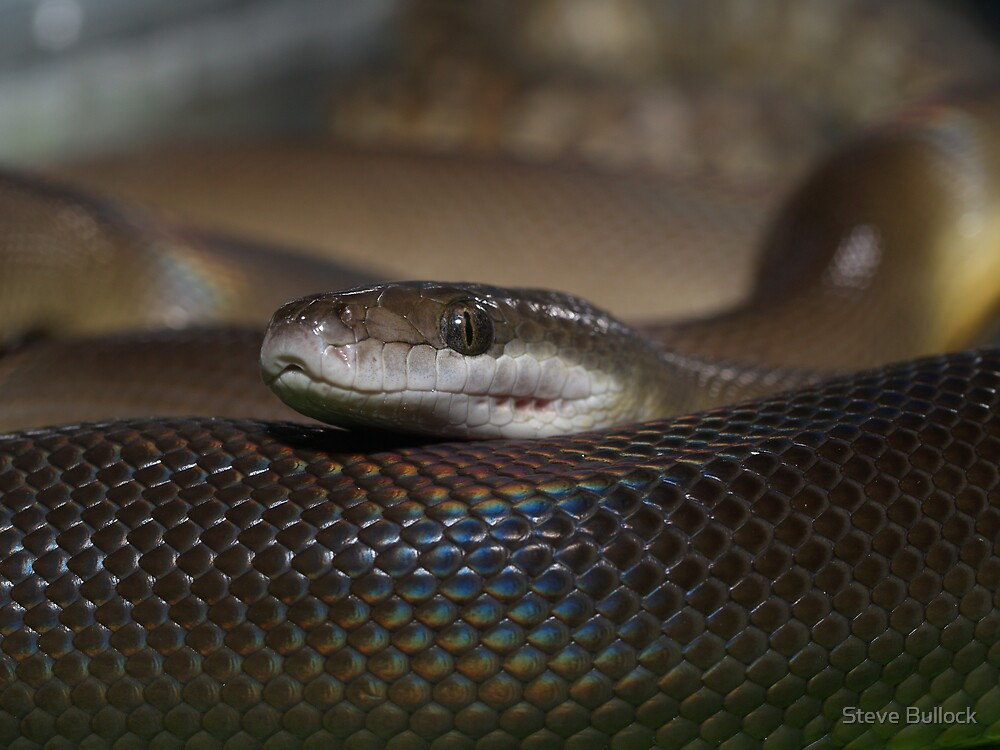 Water Python by Steve Bullock