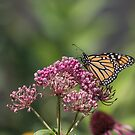 Monarch 2017-1 by Thomas Young
