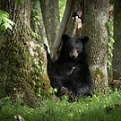 Cades Cove Bear by Douglas  Stucky