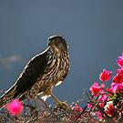 Sharped Skinned Hawk's Bougainvillea Pose by DARRIN ALDRIDGE