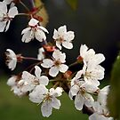 Bing Cherry Blossoms by Lee Anne French