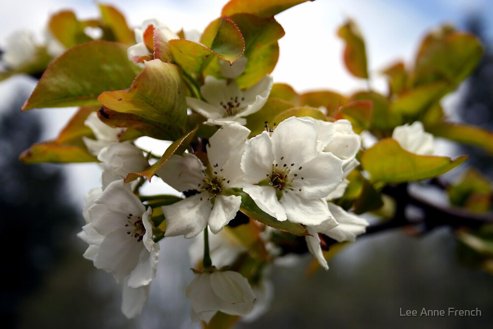 Pear Blossoms by Lee Anne French