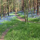 Bluebell Path 2 by Ann Garrett