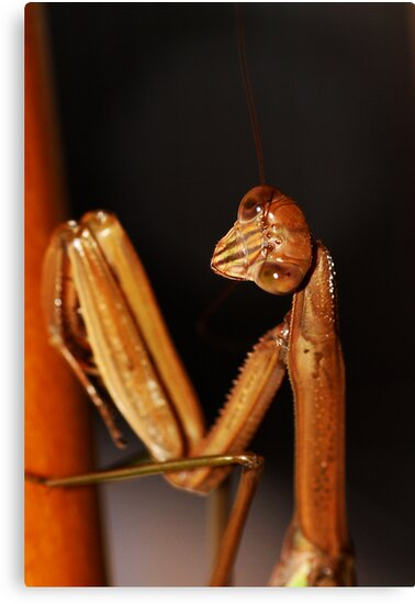 Praying Mantis by Matt Sillence