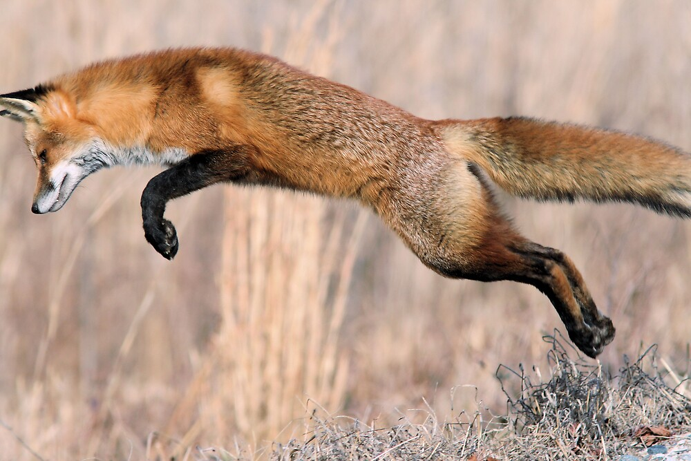 The Pounce! by Ron  Charest