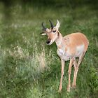 Pronghorn - Custer State Park - South Dakota by Kathy Weaver