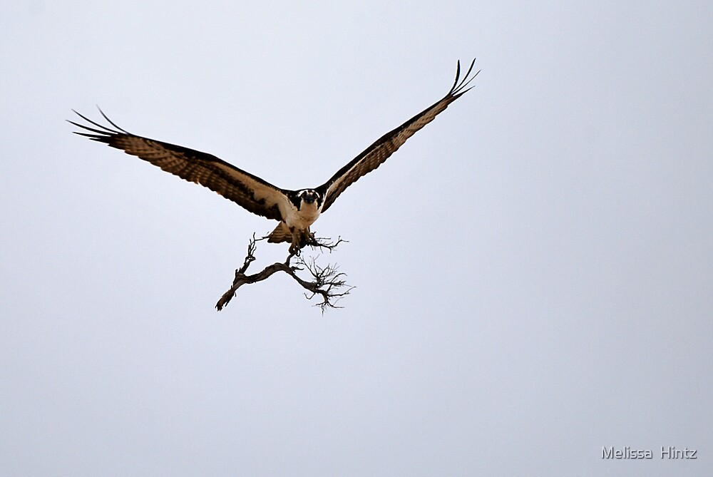 Osprey Flying In With Bush by Melissa  Hintz