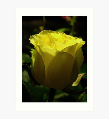 Yellow  rose. Art Print