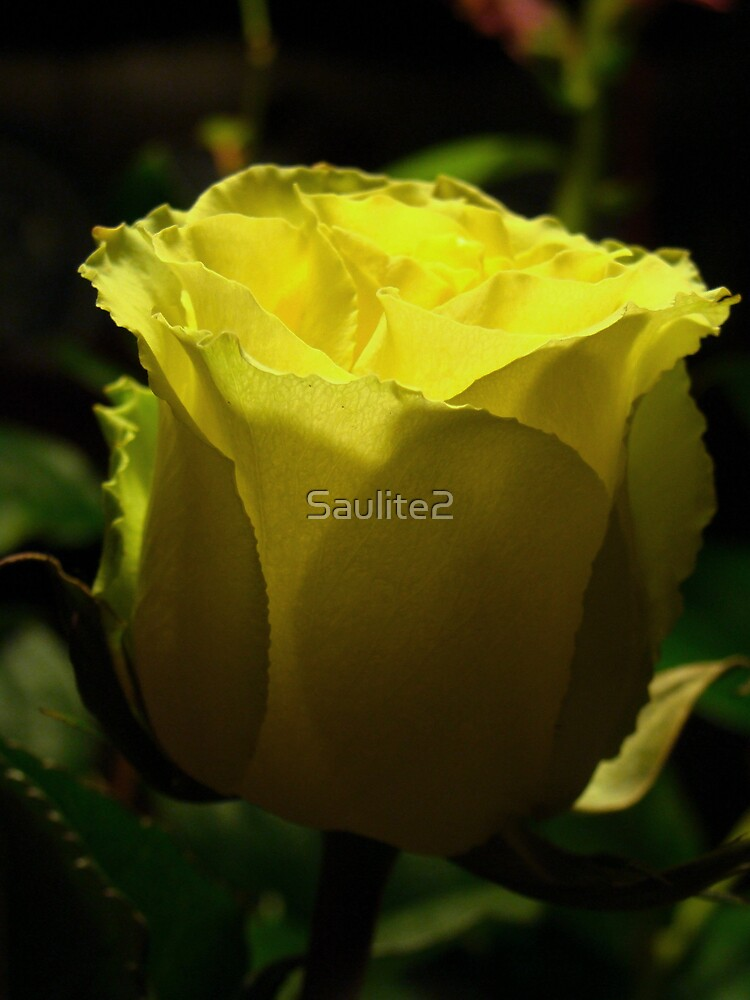 Yellow  rose. by Saulite2