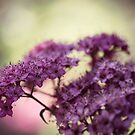 Spirea Blush by Astrid Ewing Photography