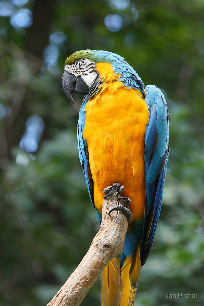 blue and gold macaw parrot by Jan Prchal