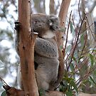 Koala by Michael Rowley