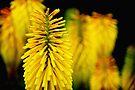 all yellow by Anthony Mancuso